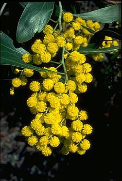 Australia's Floral Emblems